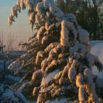 """Leyland Cypress bowed by snow"" by MichaelKarasik"