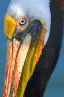 Brown Pelican Profile