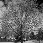 """Frosty Maple"" by northmetrophoto"