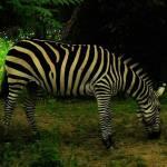 """Zebra"" by eboyce"