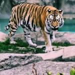 """""""Tiger"""" by eboyce"""
