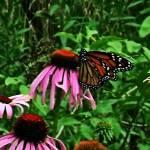 """Monarch"" by eboyce"