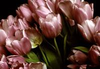 Twilight Tulips