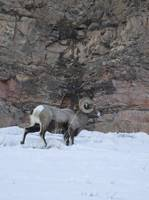 BigHorn In The Rockies