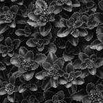 """Sedum"" by joemamerphotography"
