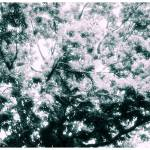 """Infrared Treetop"" by eboyce"