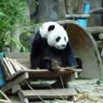 """Panda Chiang Mai Zoo"" by vampireskunk"
