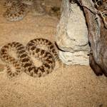 """Desert Pit Vipers in Kuwait"" by CharlesBuchanan"