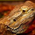 """Bearded Dragon"" by CharlesBuchanan"