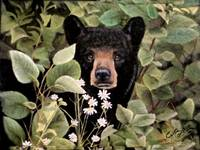 Black Bear Peeking