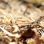 """Lizzard Basking in the Sun"" by JessicaShellPhotography"