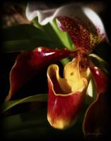 Red Orchid Flower