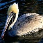 """Pelican"" by JessicaShellPhotography"