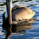 """Pelican Swimming in the Sea"" by JessicaShellPhotography"