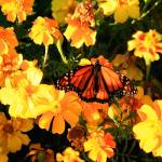 """Monarch and Marigolds"" by rayjacque"