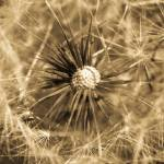 """""""Delicate Dandelion"""" by singularscenes"""