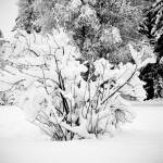 """Snowy Day Yard BW Shrub"" by jclossphoto"