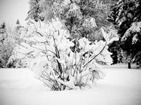 Snowy Day Yard BW Shrub