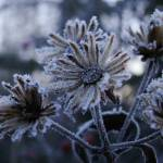 """Frosty Yard Flowers"" by jclossphoto"