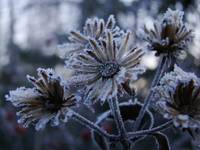 Frosty Yard Flowers
