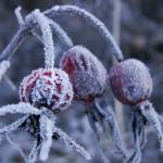 """Frosty Yard Berries 2"" by jclossphoto"