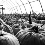 """Punkin Patch BW"" by jclossphoto"