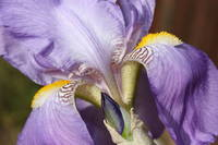 Purple Iris Beauty
