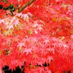 """Japanese Maple Tree in the National Garden"" by OneMansPerspectives"