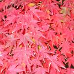 """""""Japanese Maple Tree Closeup"""" by OneMansPerspectives"""