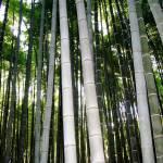 """Bamboo Forest, Arashiyama"" by OneMansPerspectives"