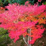 """Red Japanese Maple, Tenryu-ji Temple"" by OneMansPerspectives"