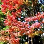 """Autumn Foilage, Arashiyama"" by OneMansPerspectives"