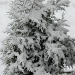 """cedar tree in snow"" by imagineit"