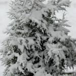 """""""cedar tree in snow"""" by imagineit"""