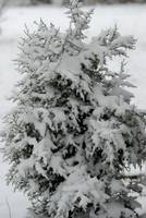 cedar tree in snow