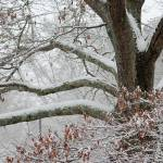 """oak tree in snow"" by imagineit"