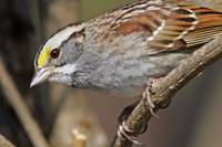 White-throated Sparrow 1DH339highres