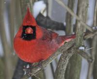 Cardinal Stare by Jim Crotty