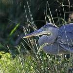 """Great Blue Heron 1DH300highres"" by jimcrotty"