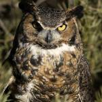 """Great Horned Owl 3dv03highres"" by jimcrotty"