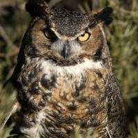 Great Horned Owl 3dv03highres by Jim Crotty