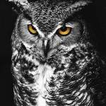 """Great Horned Owl Spot Color Black and White"" by jimcrotty"