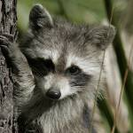 """Raccoon 1DH286highres"" by jimcrotty"
