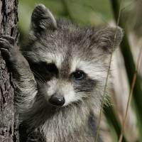 Raccoon 1DH286highres by Jim Crotty