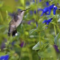 Ruby-throated Hummingbird by Jim Crotty