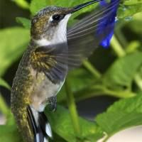 RubyThroatedHummingbird by Jim Crotty
