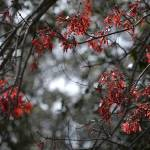 """Red Leaves in February"" by stevenverlander"