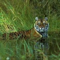 Siberian Tiger 1H223highres by Jim Crotty