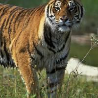 Siberian Tiger 1V279highres by Jim Crotty