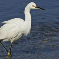White Egret 1DH285highres by Jim Crotty